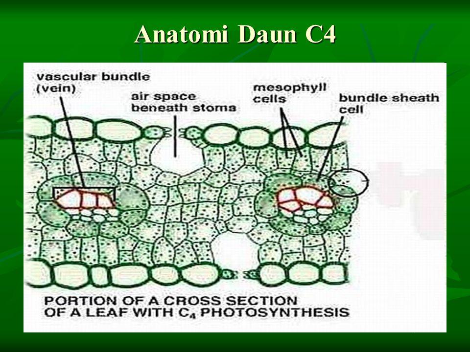 Anatomi Daun C4