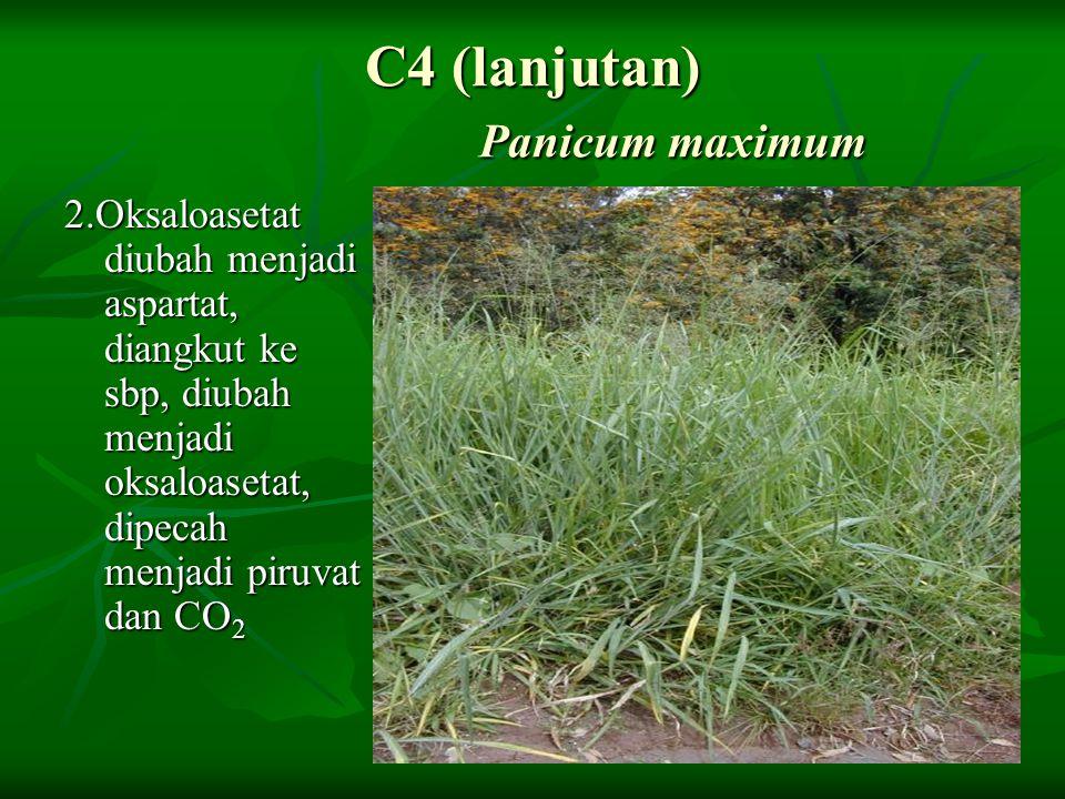 C4 (lanjutan) Panicum maximum 2.Oksaloasetat diubah menjadi aspartat, diangkut ke sbp, diubah menjadi oksaloasetat, dipecah menjadi piruvat dan CO 2