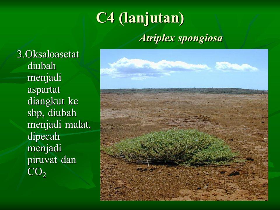 C4 (lanjutan) Atriplex spongiosa 3.Oksaloasetat diubah menjadi aspartat diangkut ke sbp, diubah menjadi malat, dipecah menjadi piruvat dan CO 2