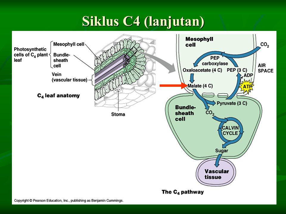 Siklus C4 (lanjutan)