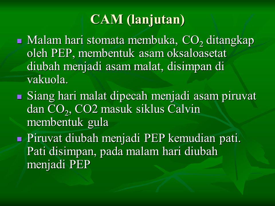 CAM (lanjutan) Malam hari stomata membuka, CO 2 ditangkap oleh PEP, membentuk asam oksaloasetat diubah menjadi asam malat, disimpan di vakuola. Malam