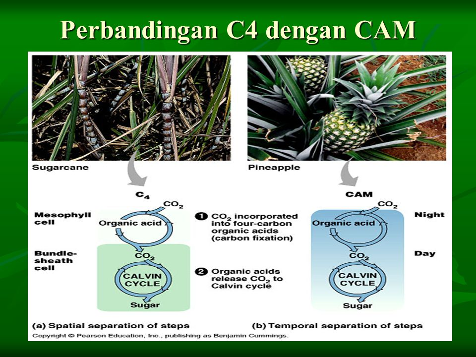 Perbandingan C4 dengan CAM