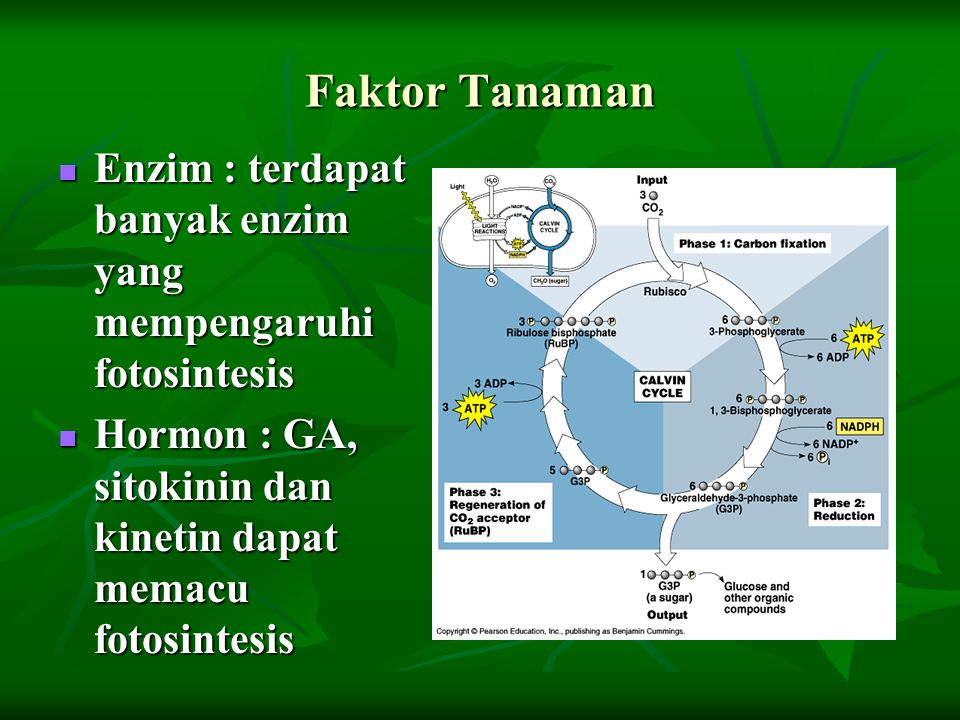 Faktor Tanaman Enzim : terdapat banyak enzim yang mempengaruhi fotosintesis Enzim : terdapat banyak enzim yang mempengaruhi fotosintesis Hormon : GA,