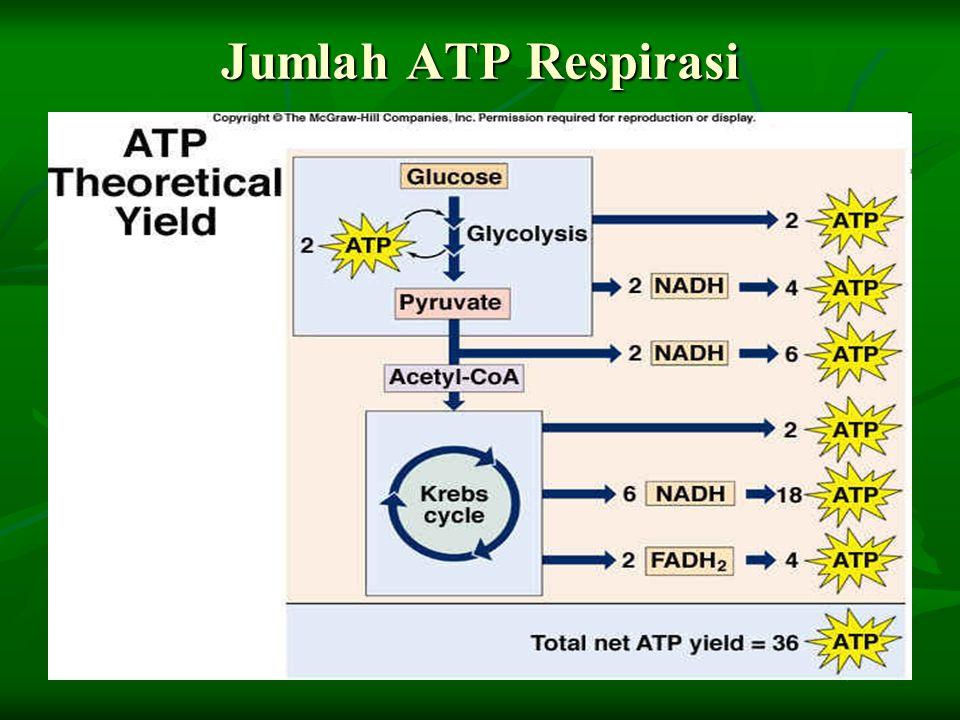 Jumlah ATP Respirasi