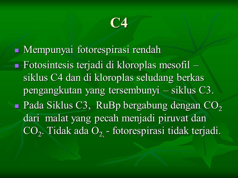 C4 Mempunyai fotorespirasi rendah Mempunyai fotorespirasi rendah Fotosintesis terjadi di kloroplas mesofil – siklus C4 dan di kloroplas seludang berka