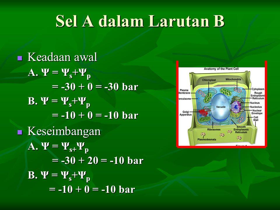 Sel A dalam Larutan B Keadaan awal Keadaan awal A. Ψ = Ψ s +Ψ p A. Ψ = Ψ s +Ψ p = -30 + 0 = -30 bar = -30 + 0 = -30 bar B. Ψ = Ψ s +Ψ p B. Ψ = Ψ s +Ψ