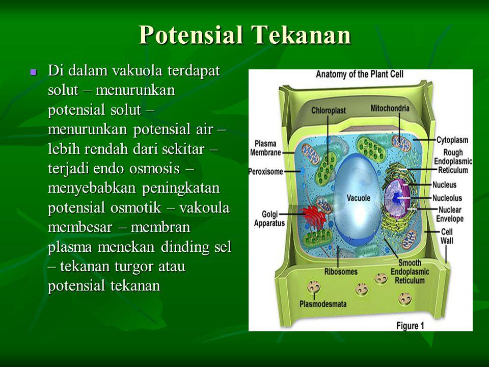 Potensial Tekanan Di dalam vakuola terdapat solut – menurunkan potensial solut – menurunkan potensial air – lebih rendah dari sekitar – terjadi endo o