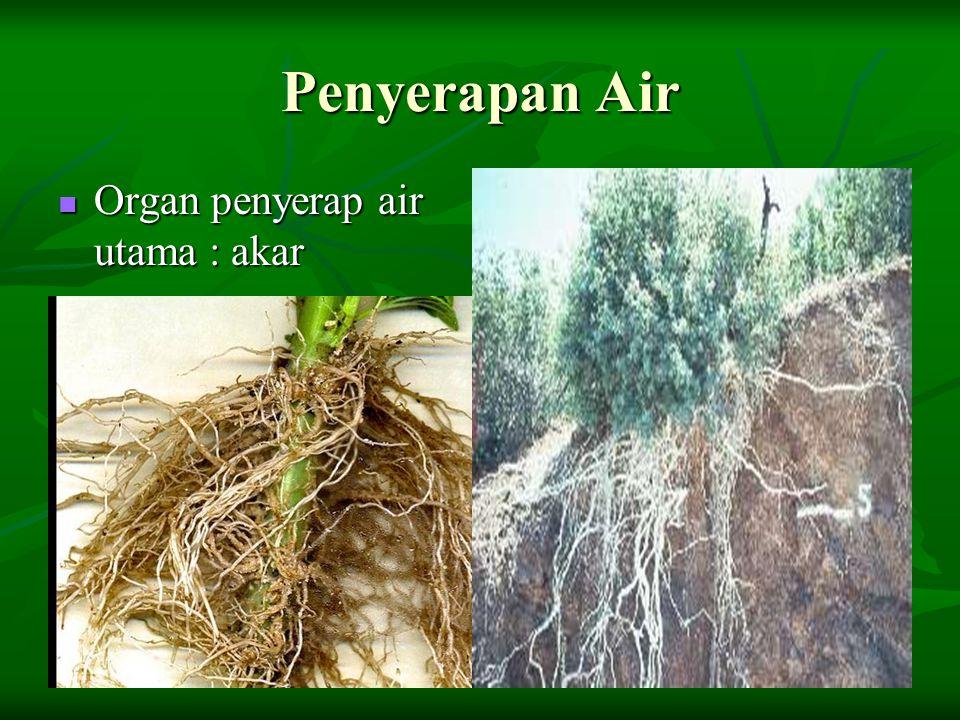 Penyerapan Air Organ penyerap air utama : akar Organ penyerap air utama : akar
