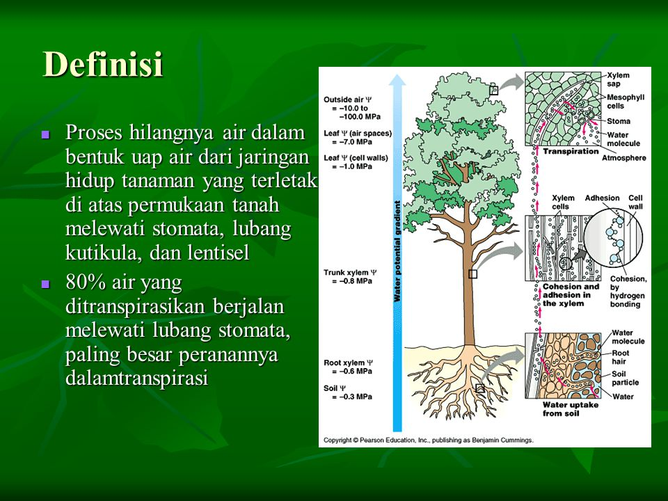 Definisi Proses hilangnya air dalam bentuk uap air dari jaringan hidup tanaman yang terletak di atas permukaan tanah melewati stomata, lubang kutikula