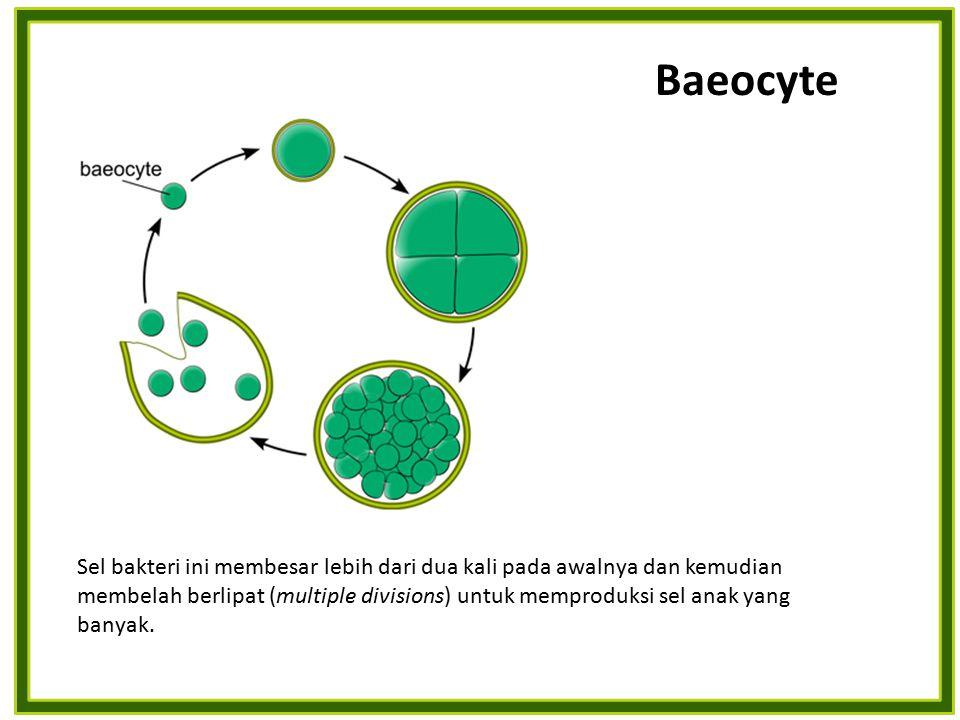 Sel bakteri ini membesar lebih dari dua kali pada awalnya dan kemudian membelah berlipat (multiple divisions) untuk memproduksi sel anak yang banyak.