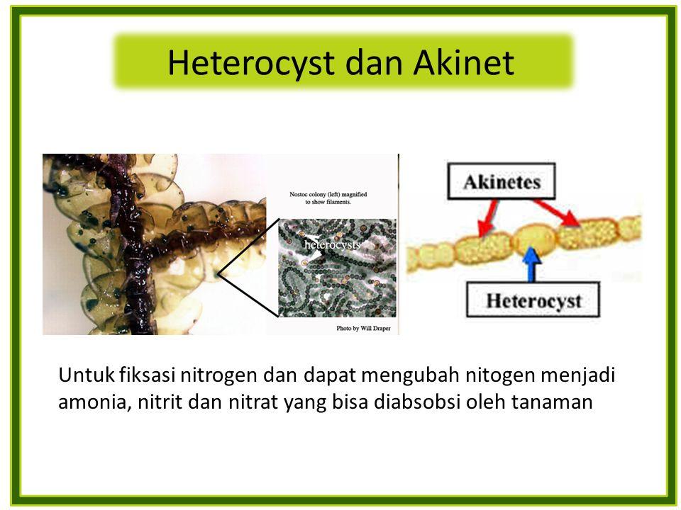 Untuk fiksasi nitrogen dan dapat mengubah nitogen menjadi amonia, nitrit dan nitrat yang bisa diabsobsi oleh tanaman Heterocyst dan Akinet