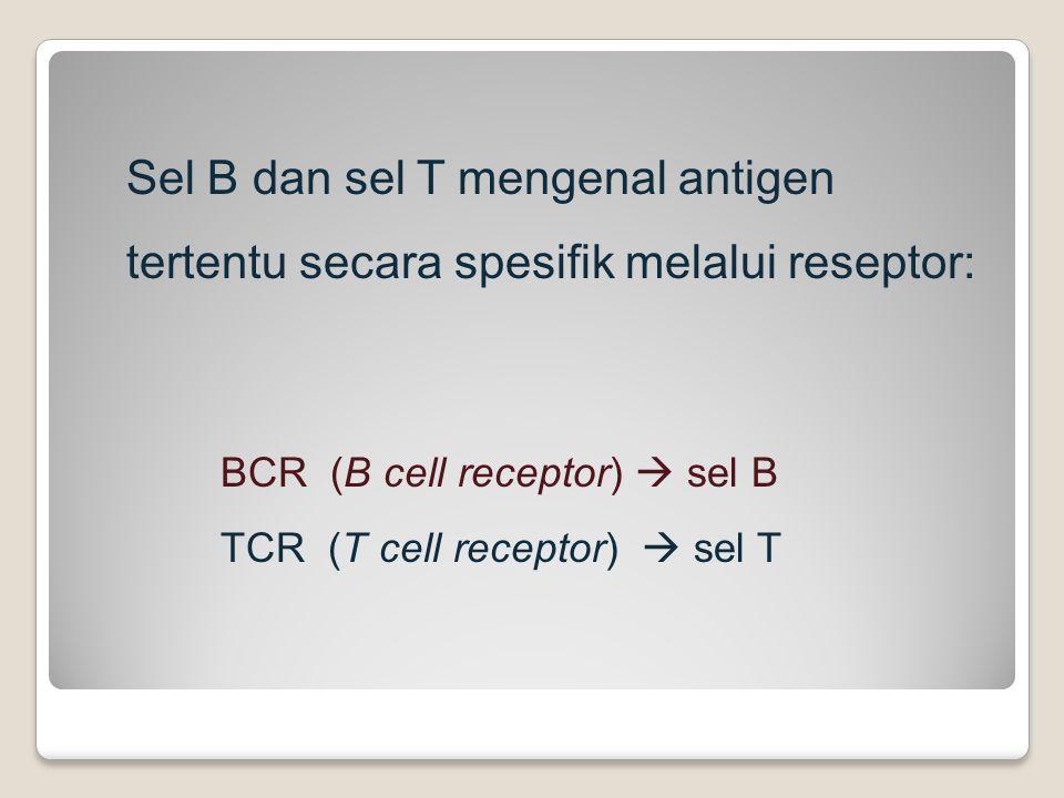 Sel B dan sel T mengenal antigen tertentu secara spesifik melalui reseptor: BCR (B cell receptor)  sel B TCR (T cell receptor)  sel T
