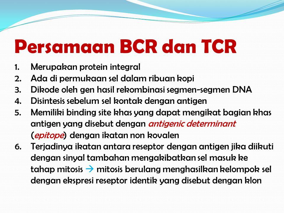 Persamaan BCR dan TCR 1.Merupakan protein integral 2.Ada di permukaan sel dalam ribuan kopi 3.Dikode oleh gen hasil rekombinasi segmen-segmen DNA 4.Di