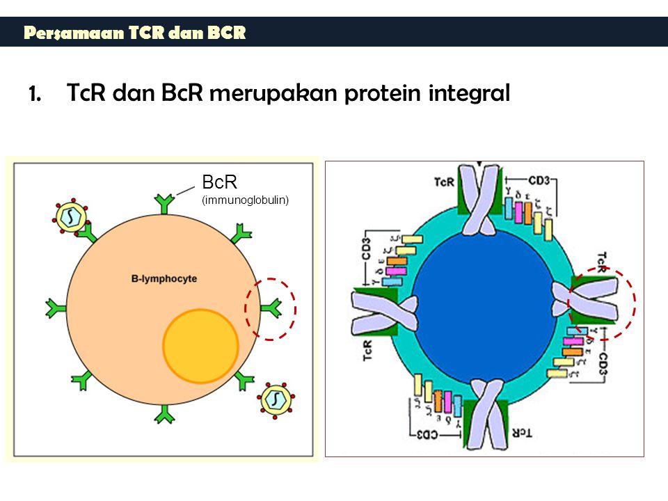 Persamaan TCR dan BCR 1.TcR dan BcR merupakan protein integral BcR (immunoglobulin)