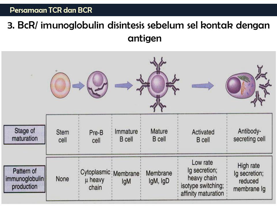 Persamaan TCR dan BCR 3. BcR/ imunoglobulin disintesis sebelum sel kontak dengan antigen