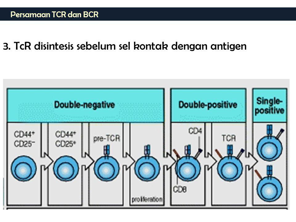 Persamaan TCR dan BCR 3. TcR disintesis sebelum sel kontak dengan antigen