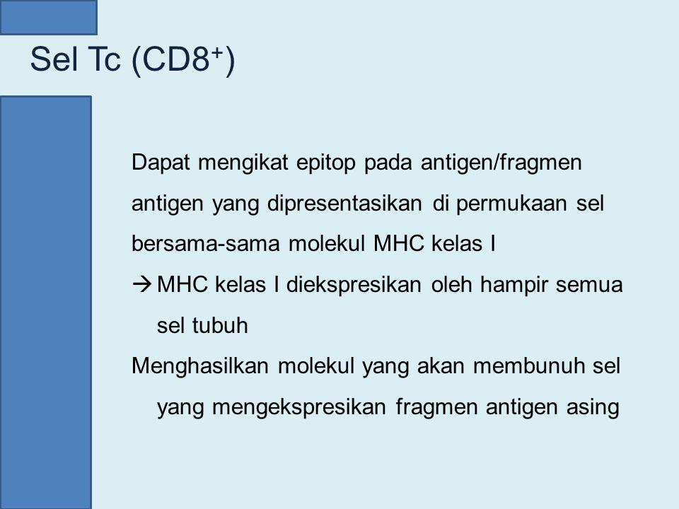 Sel Tc (CD8 + ) Dapat mengikat epitop pada antigen/fragmen antigen yang dipresentasikan di permukaan sel bersama-sama molekul MHC kelas I  MHC kelas