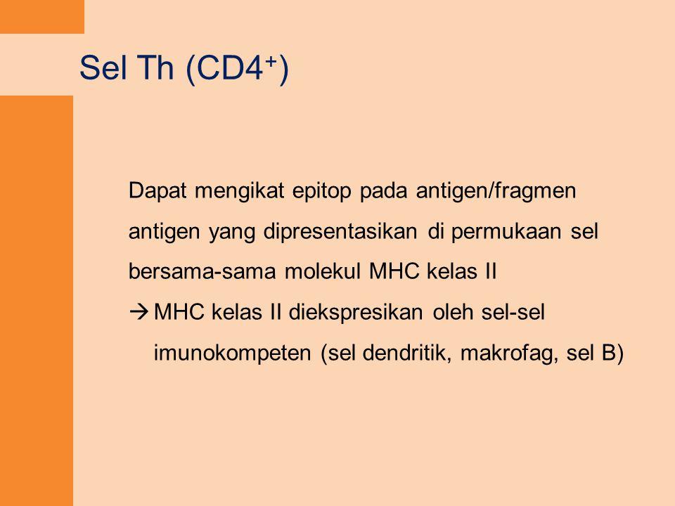 Sel Th (CD4 + ) Dapat mengikat epitop pada antigen/fragmen antigen yang dipresentasikan di permukaan sel bersama-sama molekul MHC kelas II  MHC kelas