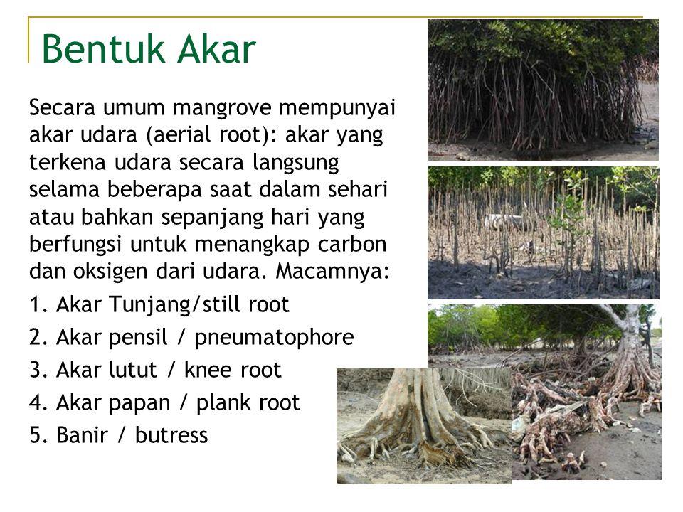 Bentuk Akar Secara umum mangrove mempunyai akar udara (aerial root): akar yang terkena udara secara langsung selama beberapa saat dalam sehari atau ba