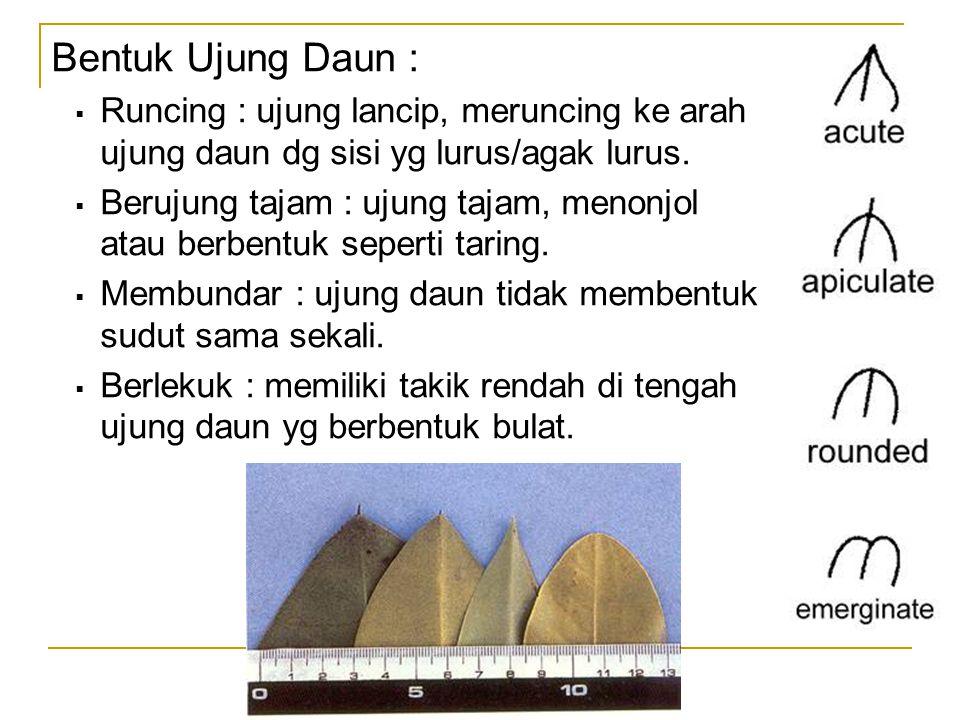 Bentuk Ujung Daun :  Runcing : ujung lancip, meruncing ke arah ujung daun dg sisi yg lurus/agak lurus.  Berujung tajam : ujung tajam, menonjol atau