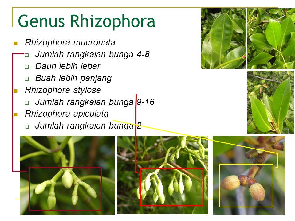 Genus Rhizophora Rhizophora mucronata  Jumlah rangkaian bunga 4-8  Daun lebih lebar  Buah lebih panjang Rhizophora stylosa  Jumlah rangkaian bunga