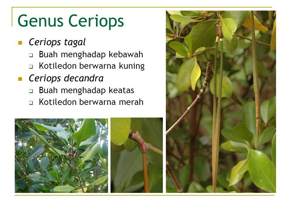 Genus Ceriops Ceriops tagal  Buah menghadap kebawah  Kotiledon berwarna kuning Ceriops decandra  Buah menghadap keatas  Kotiledon berwarna merah
