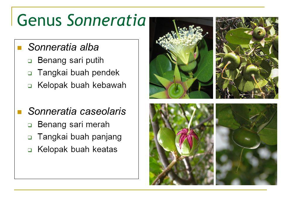 Genus Sonneratia Sonneratia alba  Benang sari putih  Tangkai buah pendek  Kelopak buah kebawah Sonneratia caseolaris  Benang sari merah  Tangkai