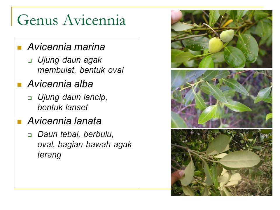 Genus Avicennia Avicennia marina  Ujung daun agak membulat, bentuk oval Avicennia alba  Ujung daun lancip, bentuk lanset Avicennia lanata  Daun teb