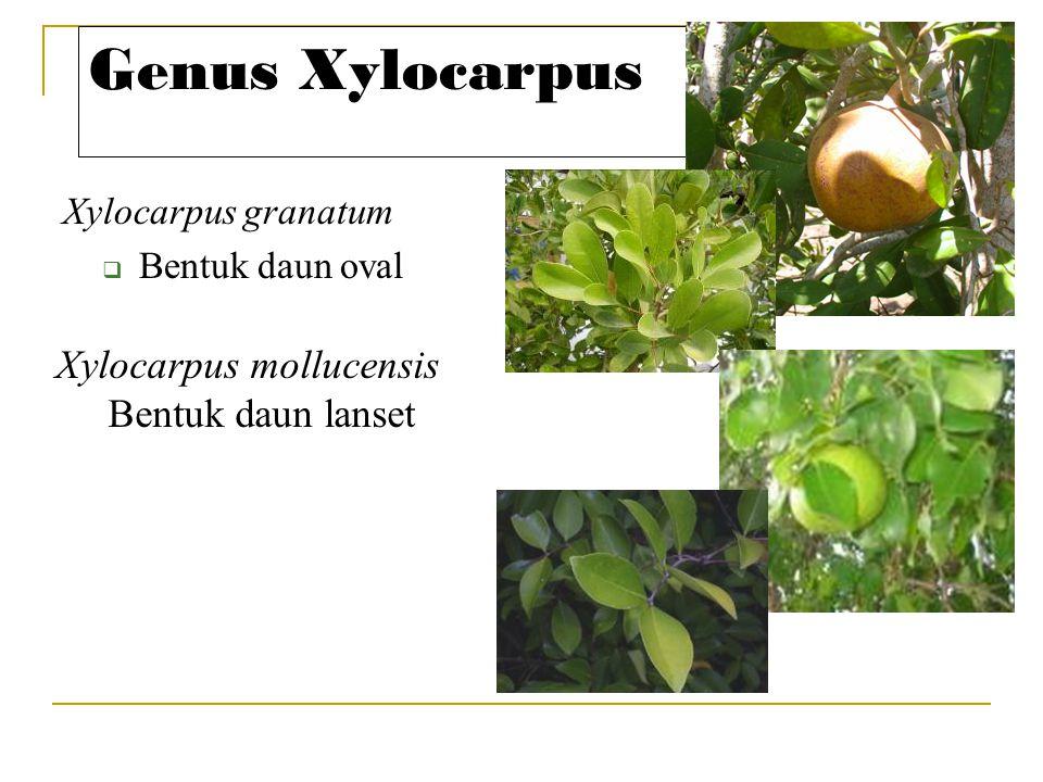 Genus Xylocarpus Xylocarpus granatum  Bentuk daun oval Xylocarpus mollucensis Bentuk daun lanset