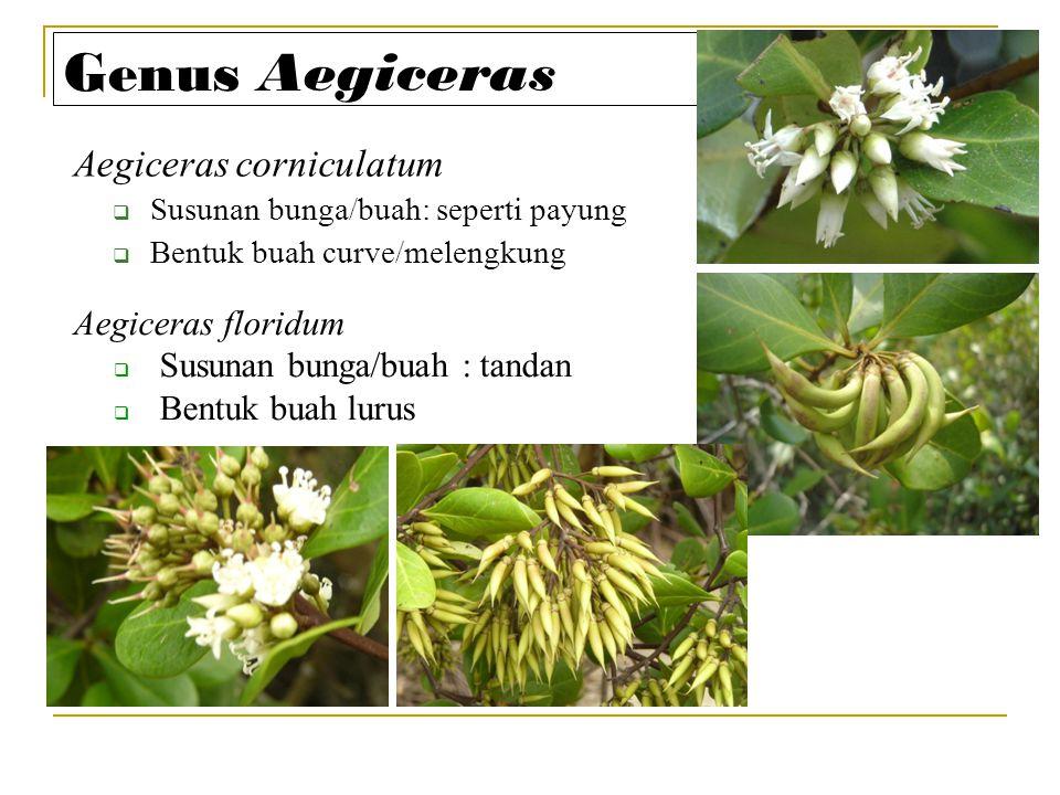 Genus Aegiceras Aegiceras corniculatum  Susunan bunga/buah: seperti payung  Bentuk buah curve/melengkung Aegiceras floridum  Susunan bunga/buah : t