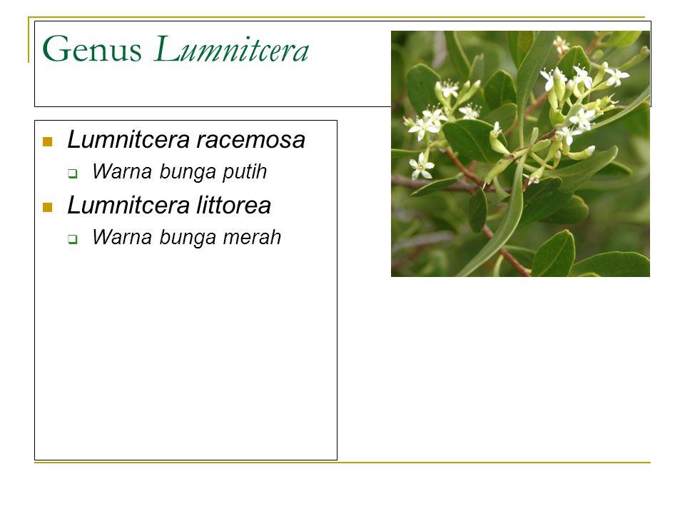 Genus Lumnitcera Lumnitcera racemosa  Warna bunga putih Lumnitcera littorea  Warna bunga merah