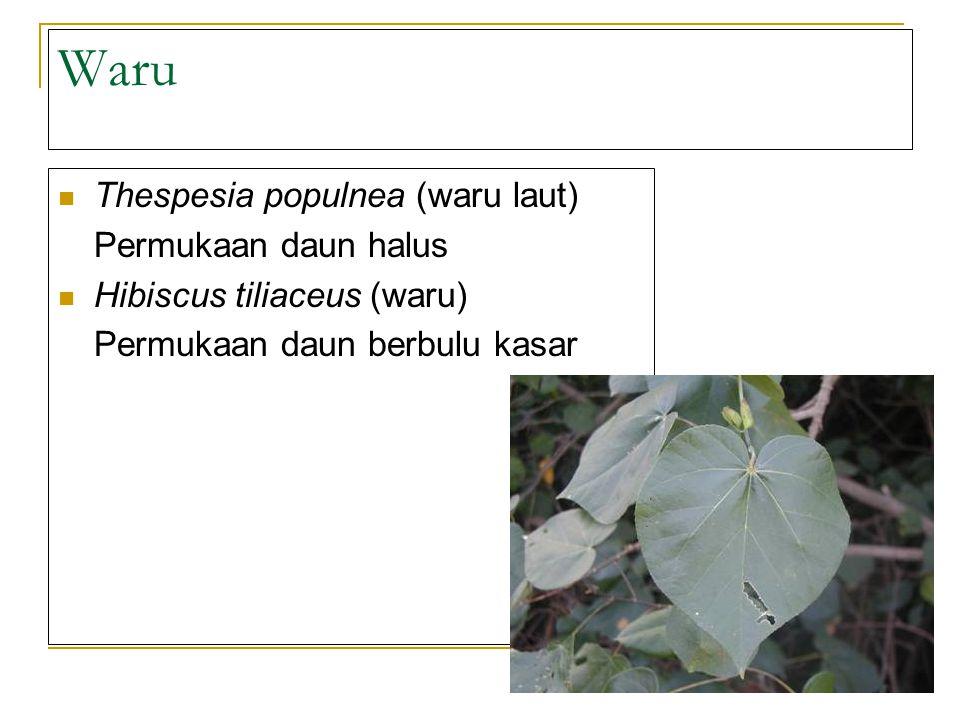 Waru Thespesia populnea (waru laut) Permukaan daun halus Hibiscus tiliaceus (waru) Permukaan daun berbulu kasar