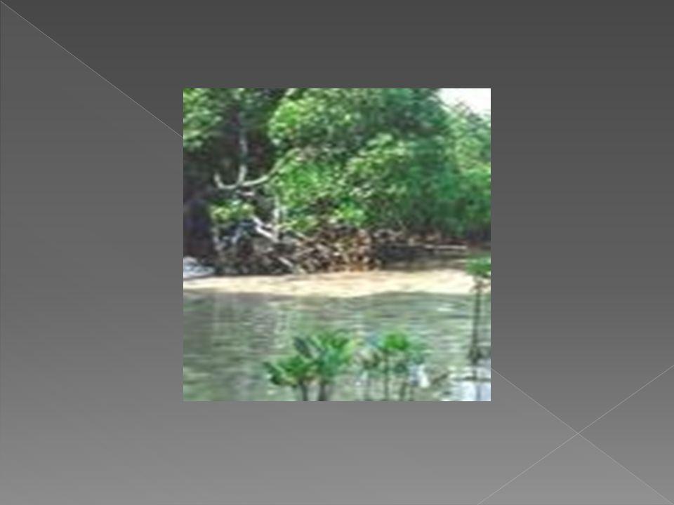  Hutan Mangrove Hutan bakau atau disebut juga hutan mangrove adalah hutan yang tumbuh di atas rawa-rawa berair payau yang terletak pada garis pantai