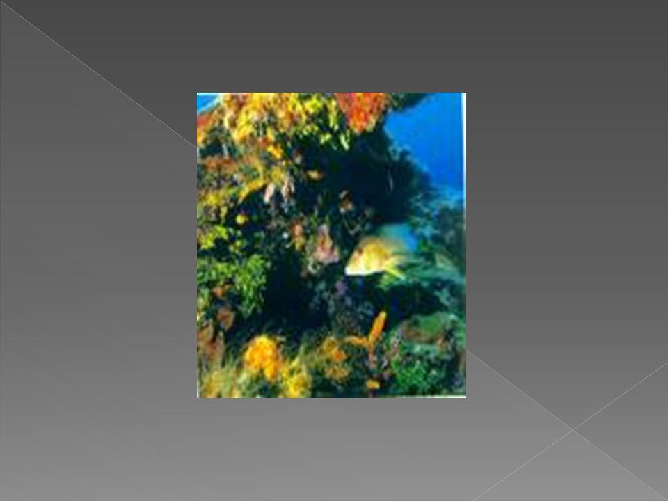  Terumbu Karang Terumbu Karang merupakan salah satu komponen utama sumber daya pesisir dan laut utama, disamping hutan mangrove dan padang lamun. ` T