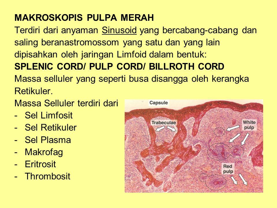 MAKROSKOPIS PULPA MERAH Terdiri dari anyaman Sinusoid yang bercabang-cabang dan saling beranastromossom yang satu dan yang lain dipisahkan oleh jaringan Limfoid dalam bentuk: SPLENIC CORD/ PULP CORD/ BILLROTH CORD Massa selluler yang seperti busa disangga oleh kerangka Retikuler.
