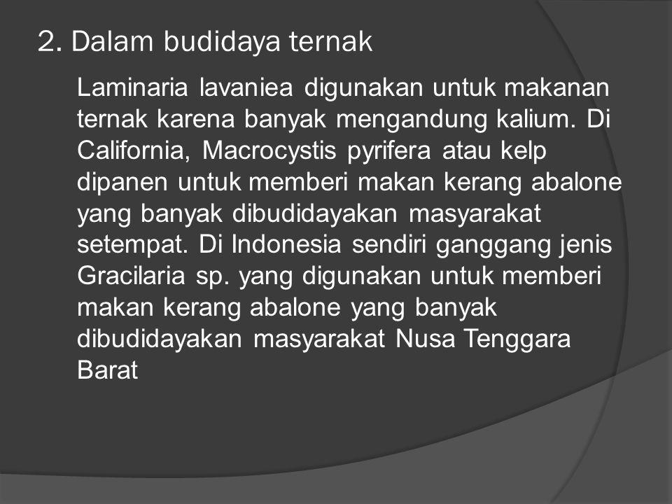 2. Dalam budidaya ternak Laminaria lavaniea digunakan untuk makanan ternak karena banyak mengandung kalium. Di California, Macrocystis pyrifera atau k