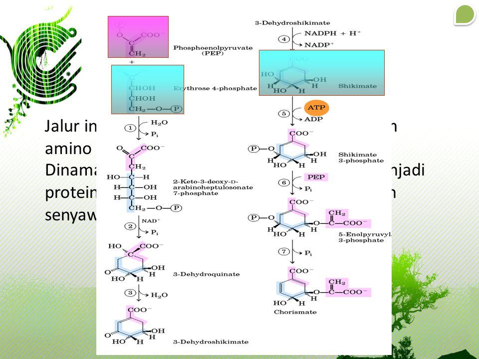 Jalur ini merupakan jalur awal biosintesis asam amino aromatik Dinamakan jalur shikimat karena sebelum menjadi protein; sintesis selalu dimulai dari p