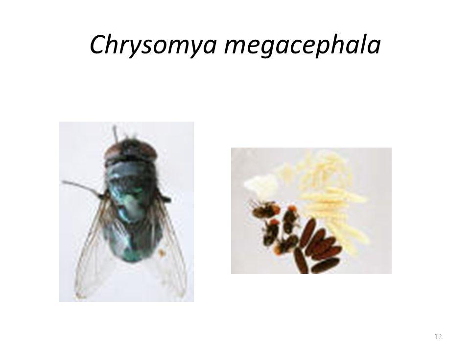 Chrysomya megacephala 12