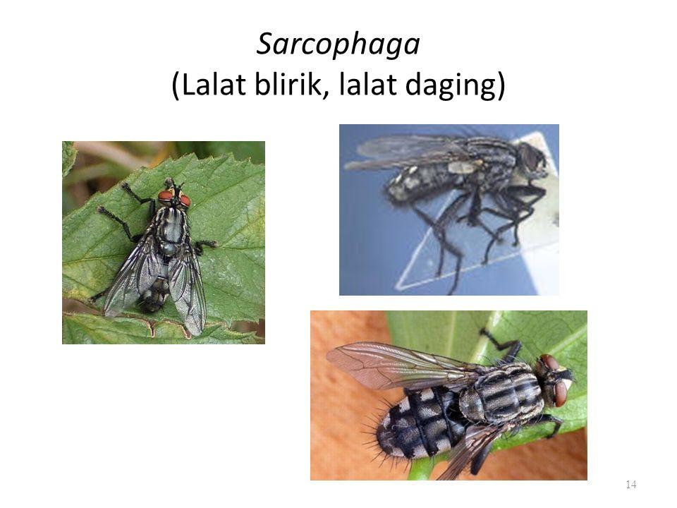 Sarcophaga (Lalat blirik, lalat daging) 14