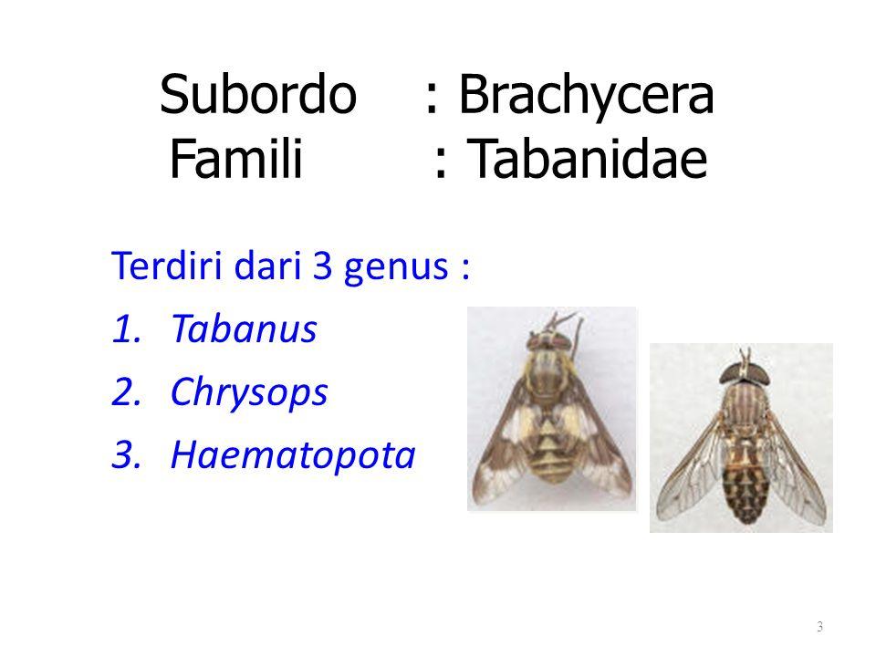 Subordo: Brachycera Famili : Tabanidae Terdiri dari 3 genus : 1.Tabanus 2.Chrysops 3.Haematopota 3