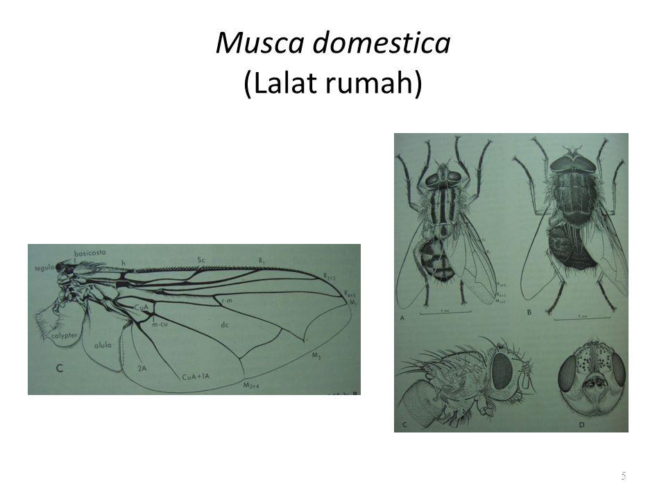Musca domestica (Lalat rumah) 5