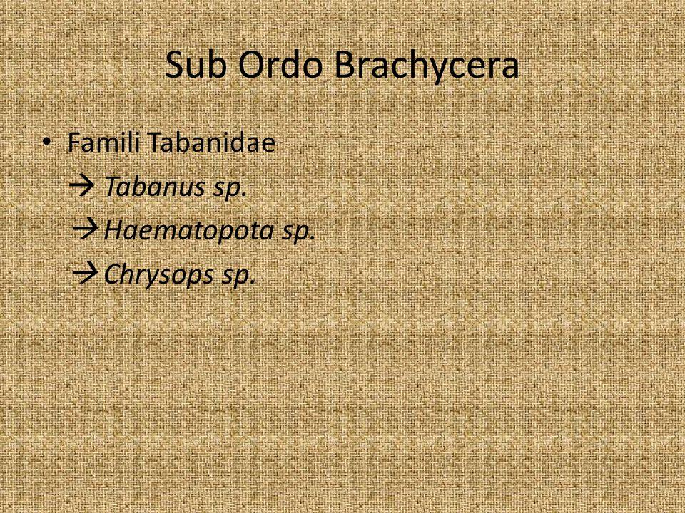Sub Ordo Brachycera Famili Tabanidae  Tabanus sp.  Haematopota sp.  Chrysops sp.