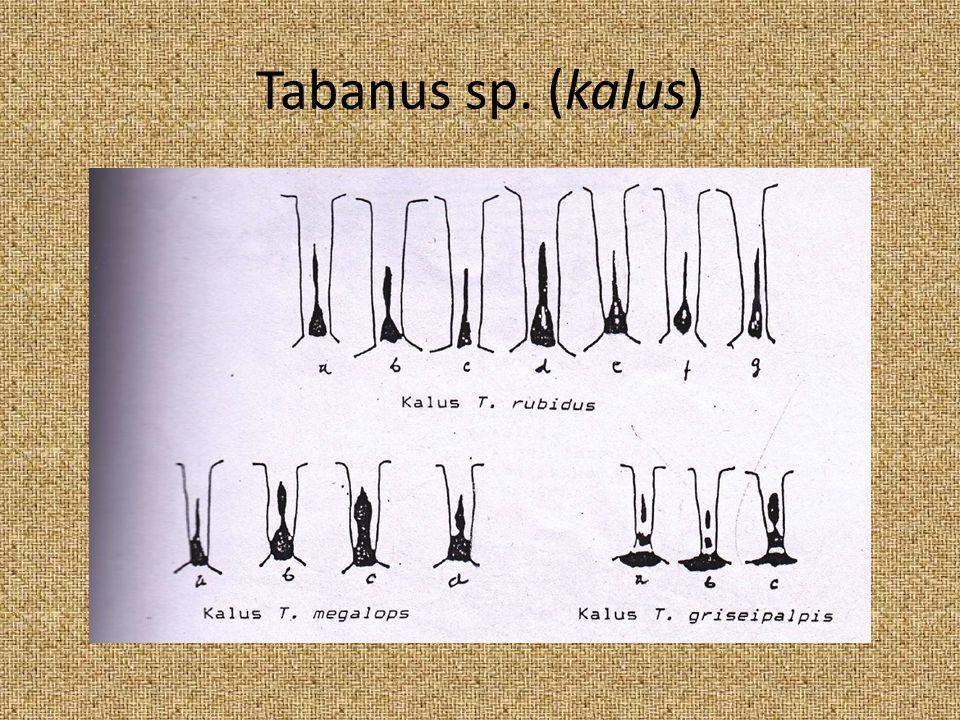 Tabanus sp. (kalus)