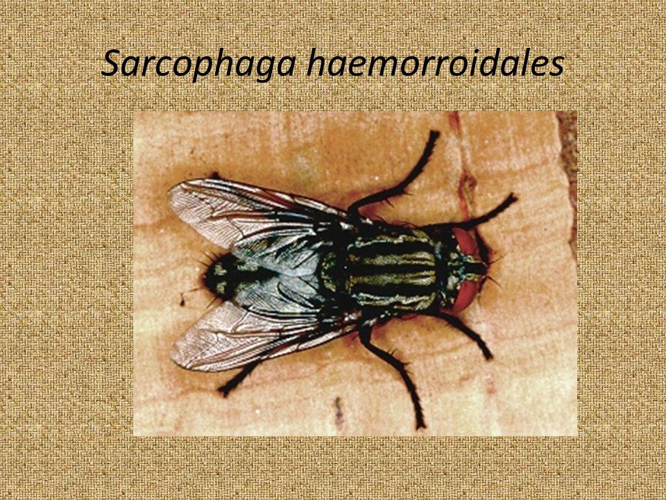 Sarcophaga haemorroidales