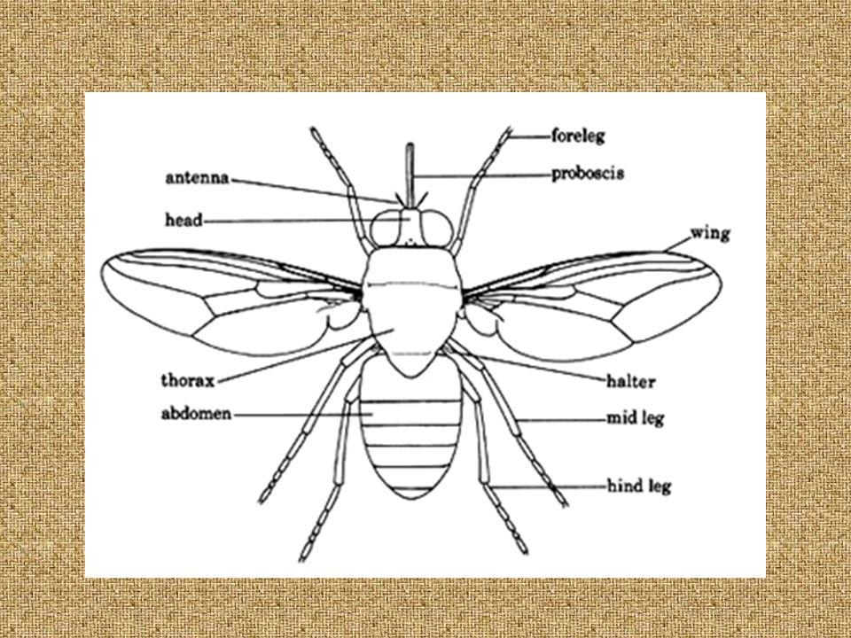 Hippobosca maculata