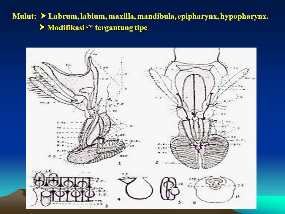 Mulut:  Labrum, labium, maxilla, mandibula, epipharynx, hypopharynx.  Modifikasi  tergantung tipe