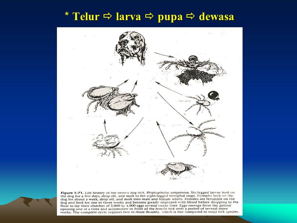 Telur  larva  pupa  dewasa * Telur  larva  pupa  dewasa