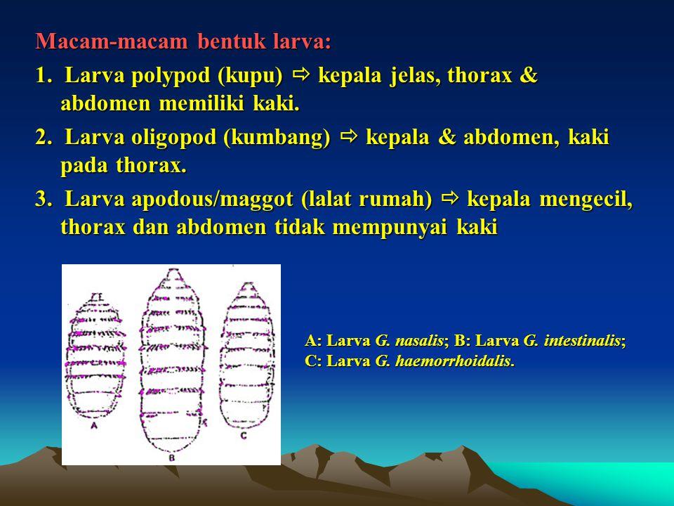 Macam-macam bentuk larva: 1. Larva polypod (kupu)  kepala jelas, thorax & abdomen memiliki kaki. 2. Larva oligopod (kumbang)  kepala & abdomen, kaki