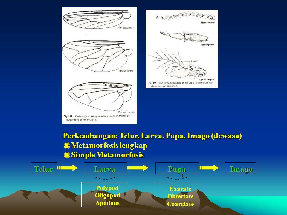 Perkembangan: Telur, Larva, Pupa, Imago (dewasa)  Metamorfosis lengkap  Simple Metamorfosis Telur Polypod Oligopod Apodous Exarate Obtectate Coarctate LarvaPupaImago