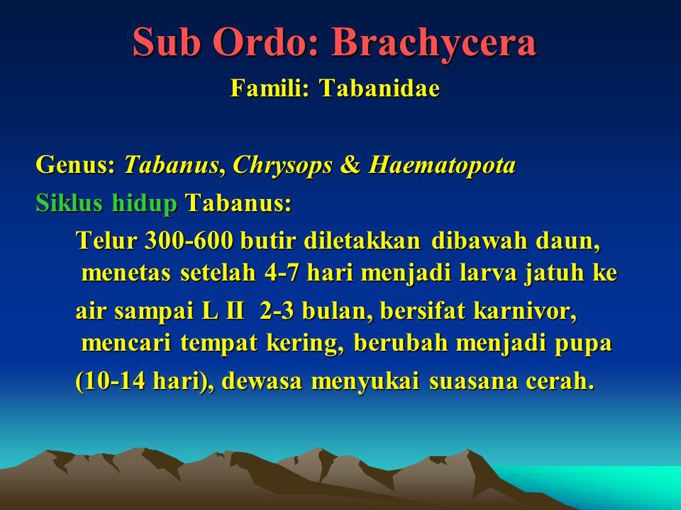 Sub Ordo: Brachycera Famili: Tabanidae Genus: Tabanus, Chrysops & Haematopota Siklus hidup Tabanus: Telur 300-600 butir diletakkan dibawah daun, menet
